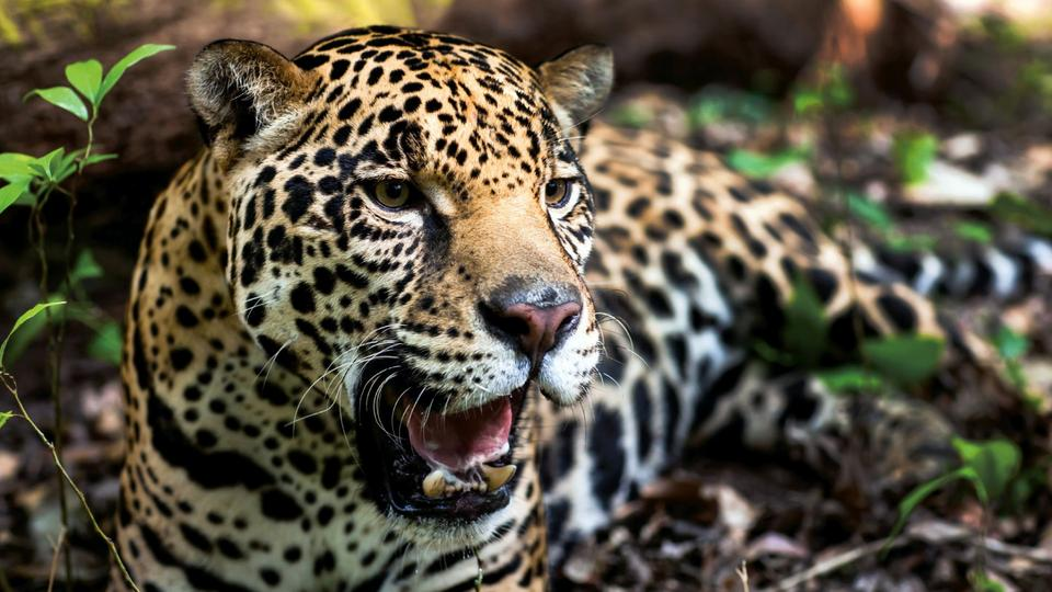 Ein Jaguar (Quelle: AFP/Worldwide Fund of Nature | Bildquelle: AFP
