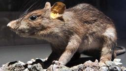 Ratte (foto: picture alliance / dpa)