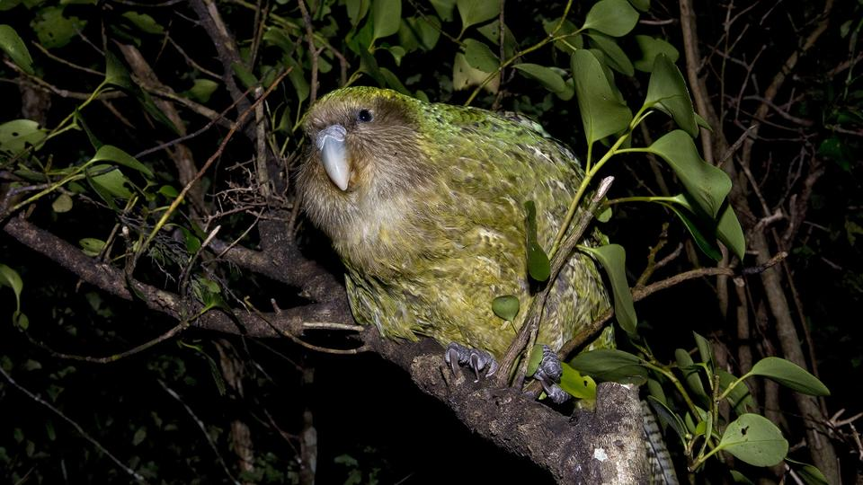 Sirocco, der Kakapo | picture alliance / Mary Evans Pi